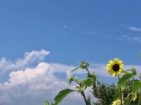 梅雨明け直後の青空とヒマワリの花