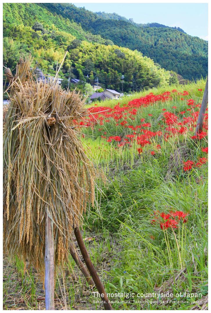 奈良県高市郡明日香村阪田 日本のふるさと 秋の田園風景 Sakata Asuka-mura