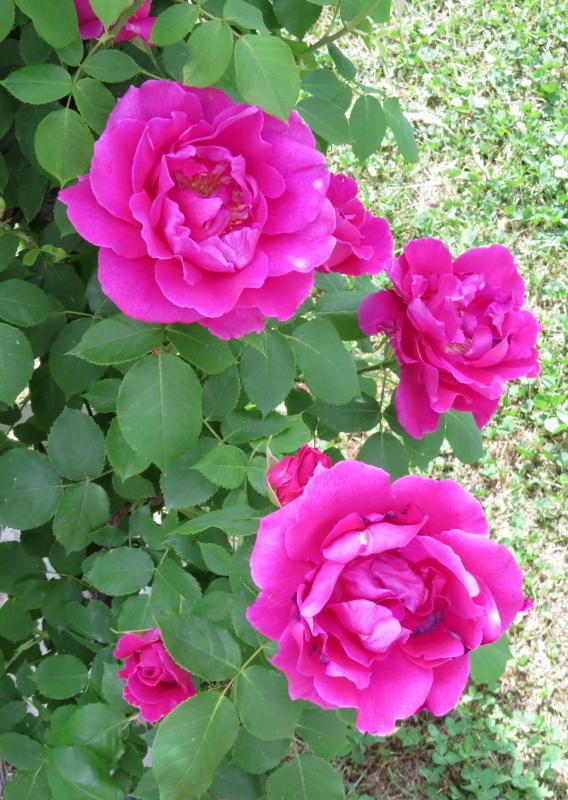 Rosa Red Druschki