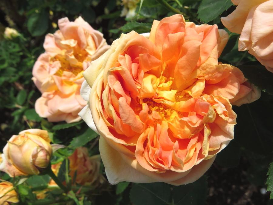Rosa Soleil d'Or