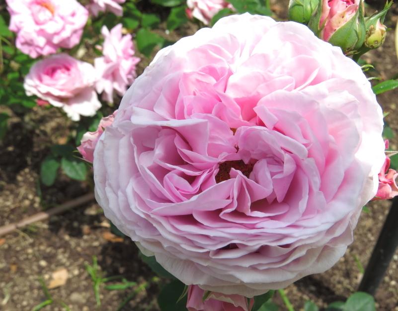 Rosa Lilac Rose