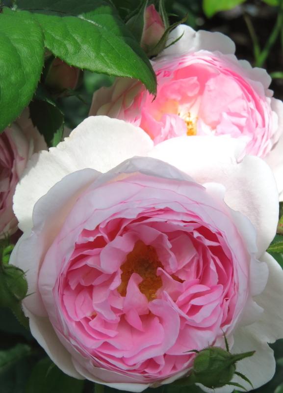 Rosa Scepter'd Isle