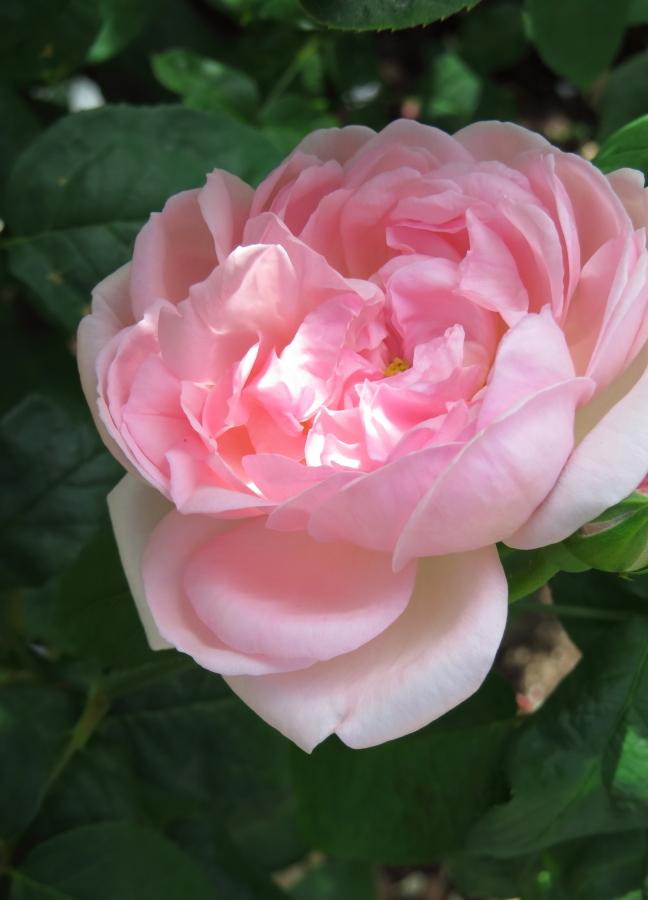 Rosa Eglantyne