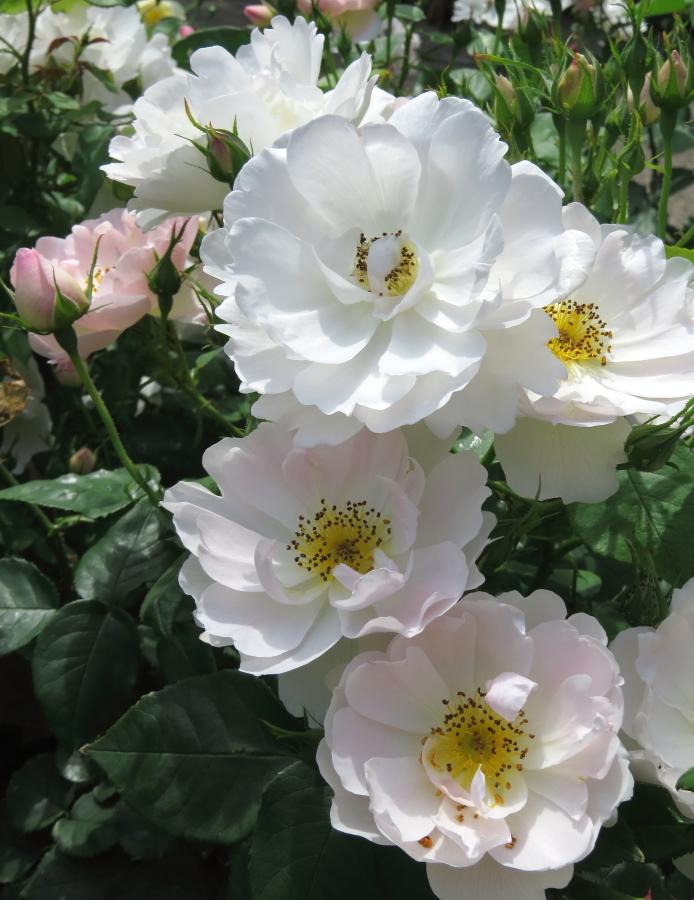 Rosa Peach Blossom
