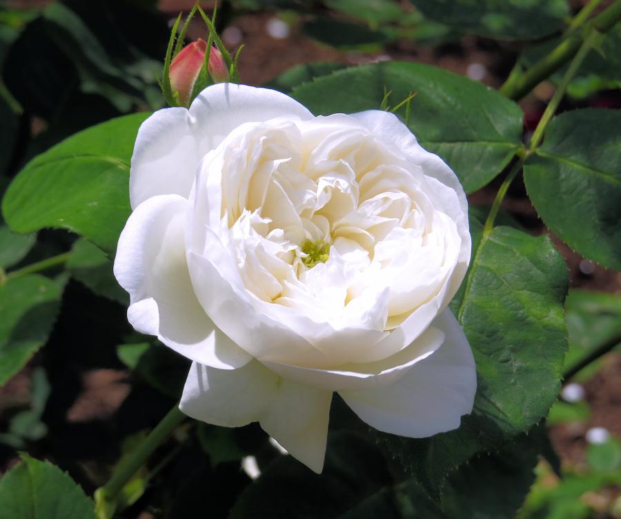 Rosa Fair Bianca