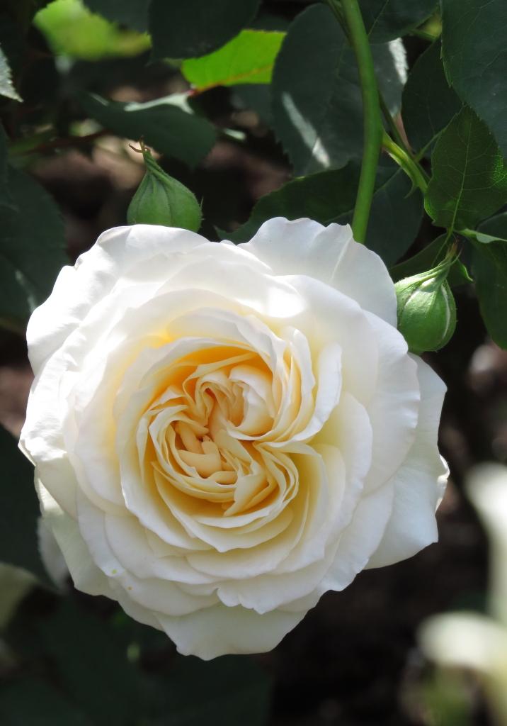 Rosa Perdita