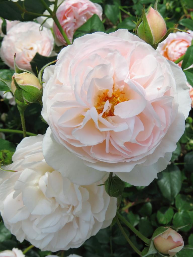 Rosa Heritage