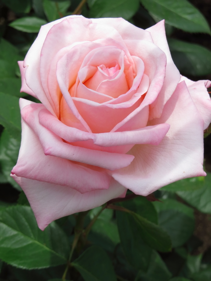 Rosa Princess Nobuko