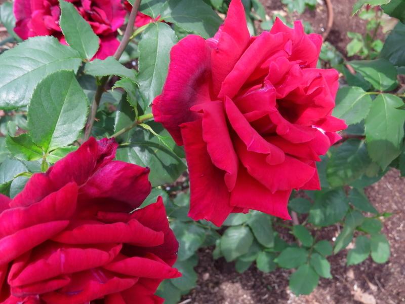 Rosa Burgund '81