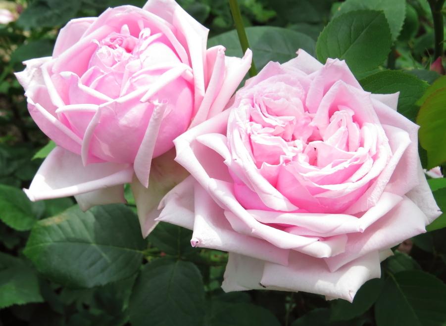 Rosa La France