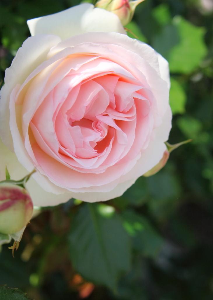 Rosa Pierre de Ronsard