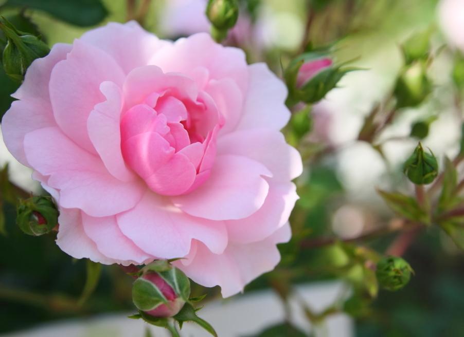 Rosa Bonica '82