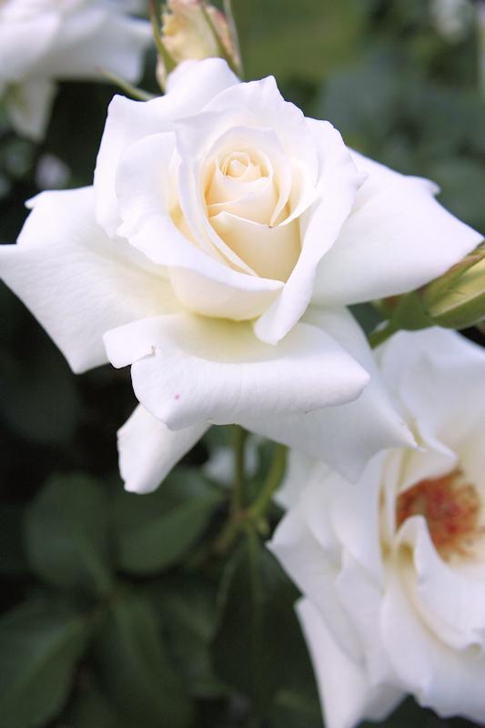 Rosa Pascali