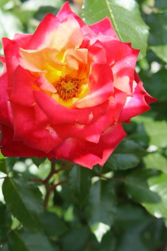 Rosa Mein München