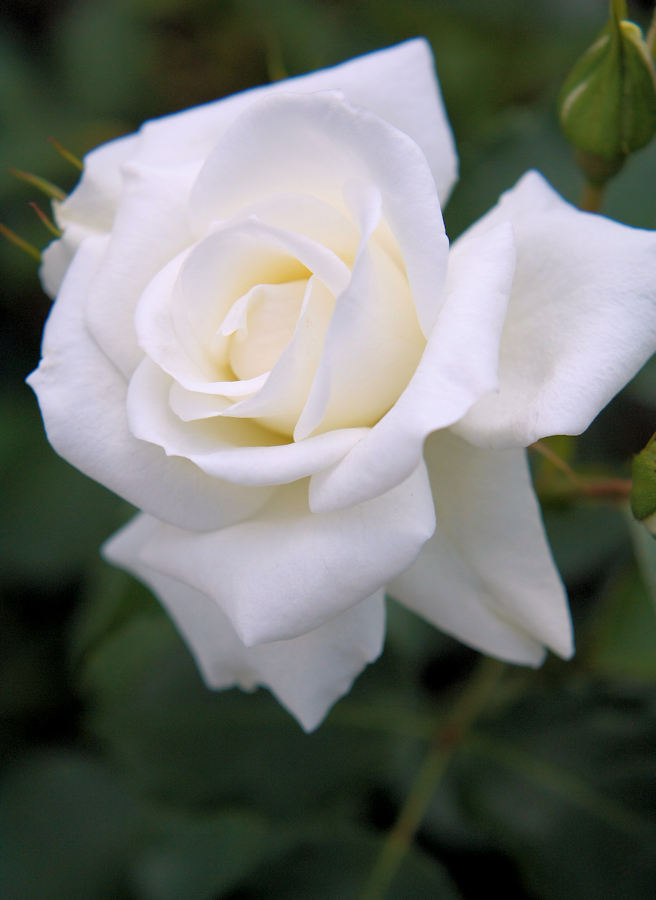 Rosa White Arrow