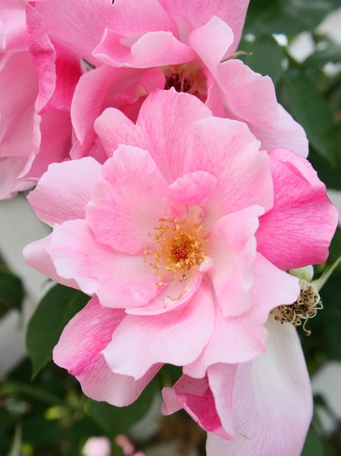Rosa Spanish Beauty