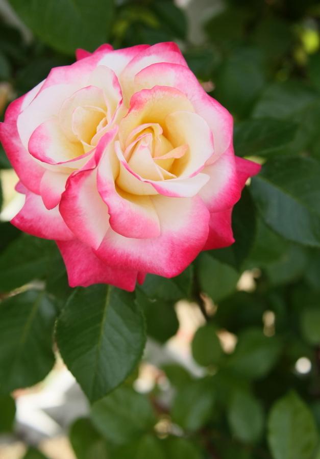 Rosa Minuette