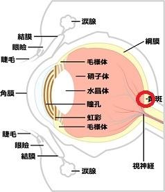 目の構造 - コピー (2)