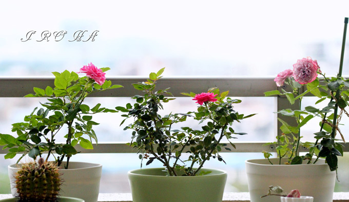 バラたちs