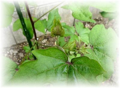 花芽1-2