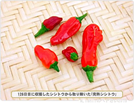 ペトさい(改良シシトウ・Remake)37