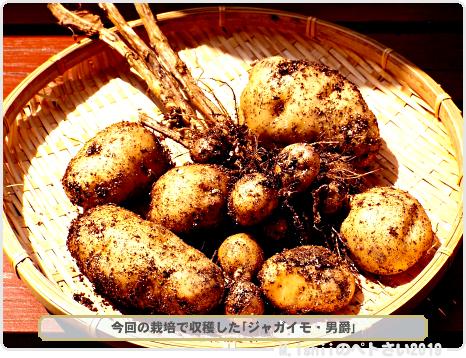 収穫したジャガイモ01