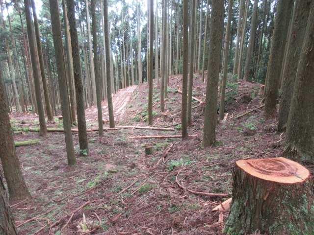 IMG0098JPG作業道と伐採