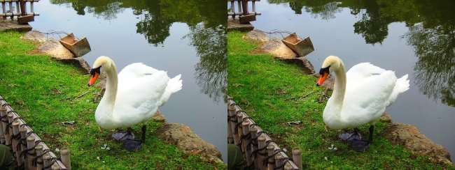 彦根城 内濠の白鳥①(交差法)