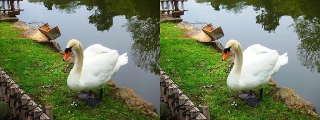 彦根城 内濠の白鳥①(平行法)
