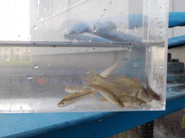 鯉とタモロコ