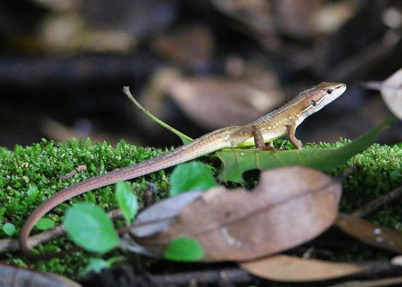 ニホンカナヘビ1