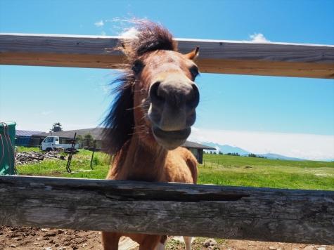 美ヶ原牧場のポニー