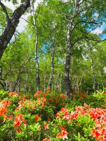 美ヶ原高原 白樺平のレンゲツツジ