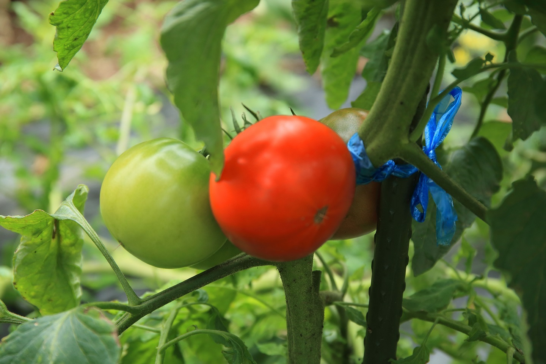 ブログ 中玉のトマト.jpg