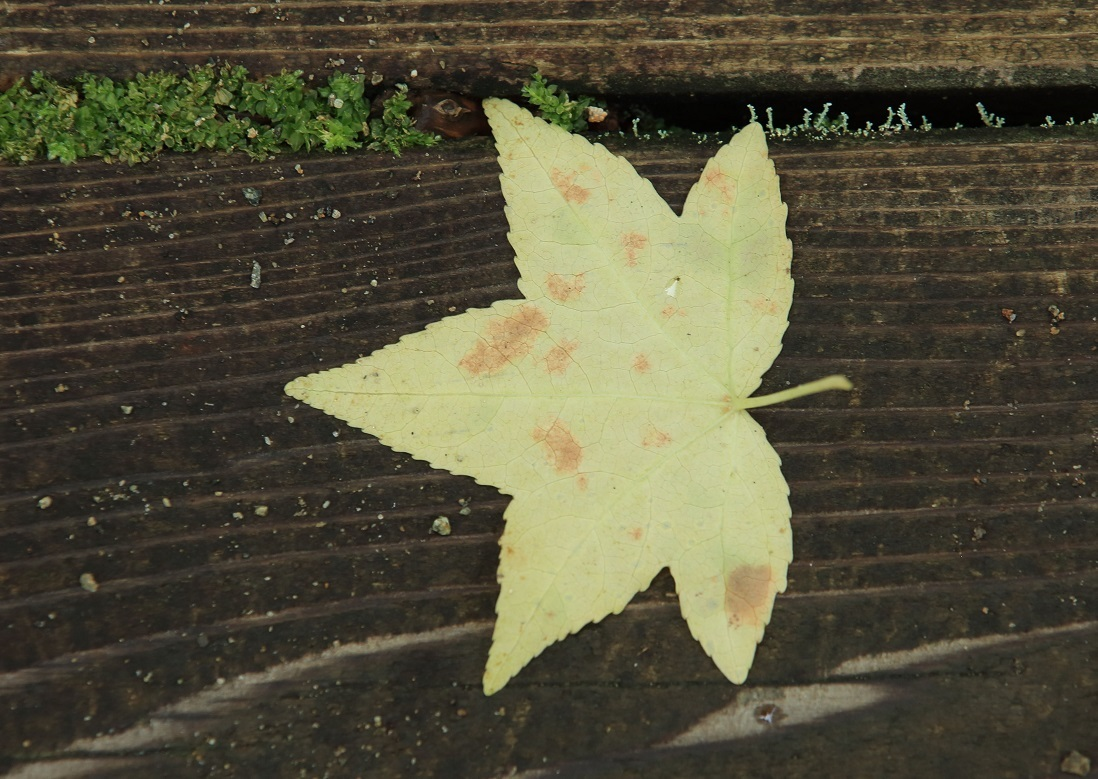 ブログ 楓の落ち葉 黄色.jpg