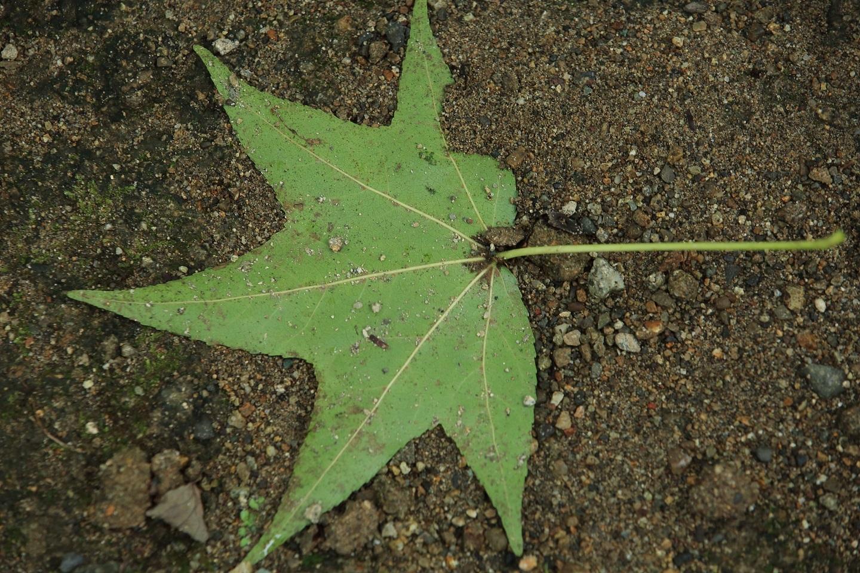 ブログ 楓の落ち葉  緑.jpg