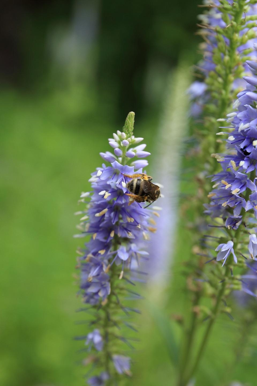 ブログ ハナトラノオと蜂(花粉を一杯つけている).jpg