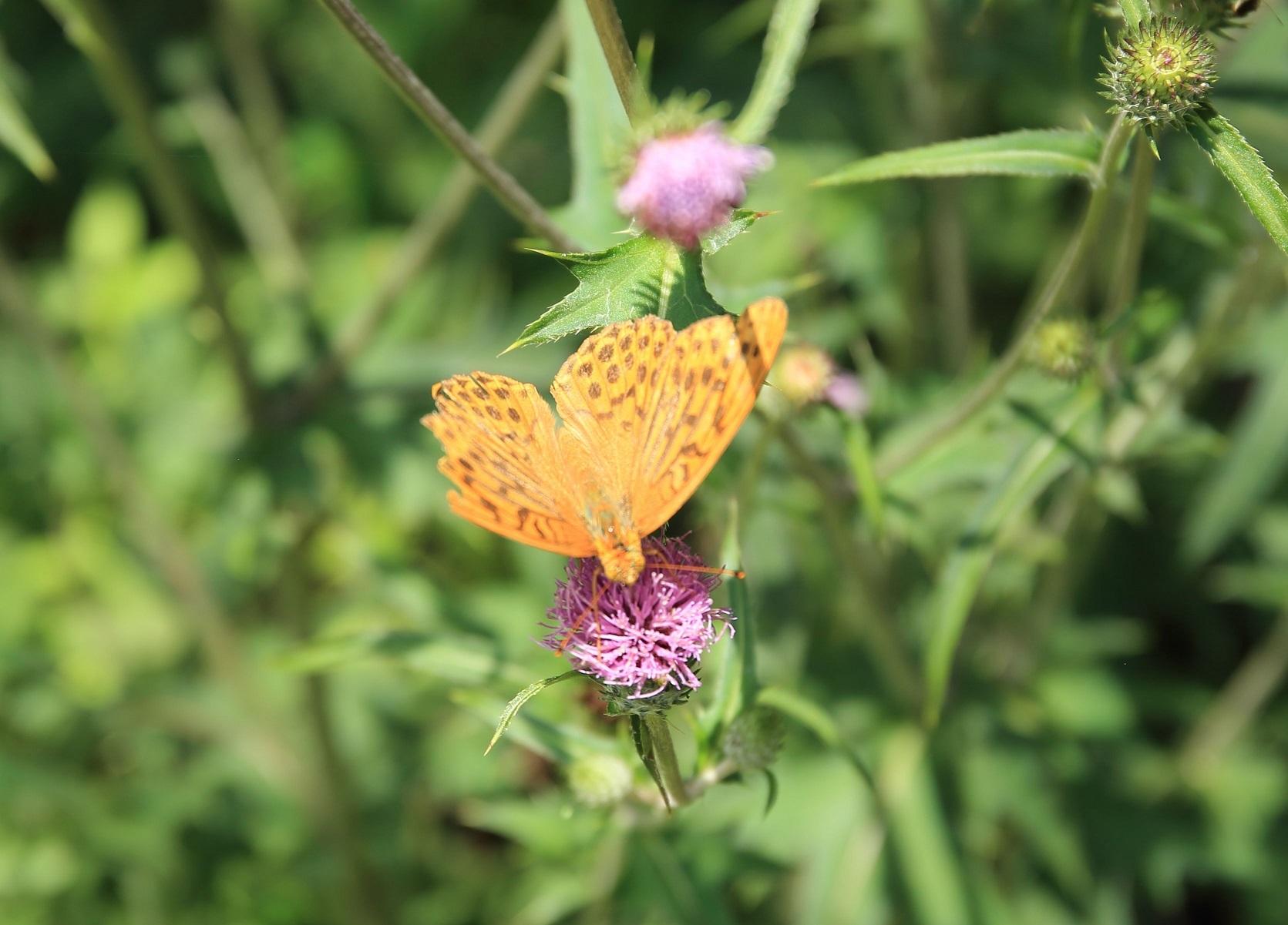ブログ 破れ羽の蝶.jpg