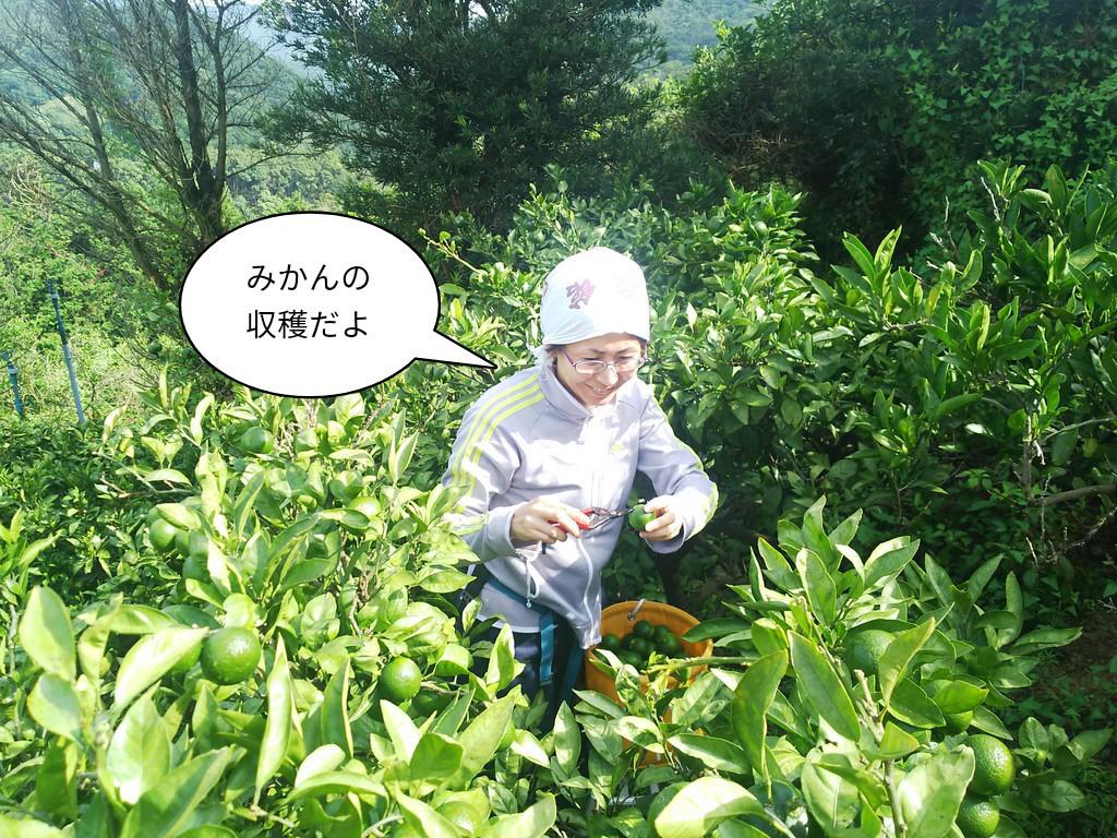 青みかんの収穫だよ