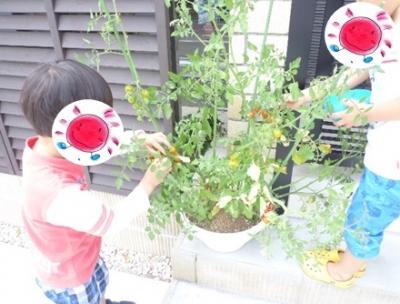 トマトの収穫①