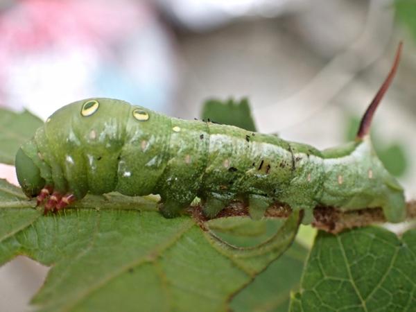 コスズメ幼虫