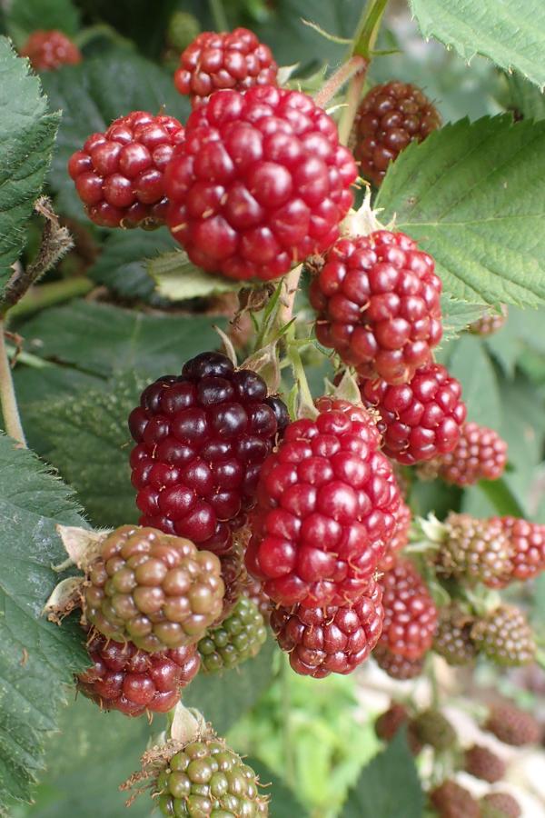 ブラックベリーの果実