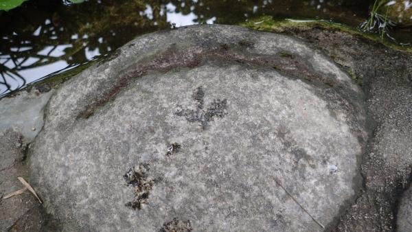 キジバトの足跡