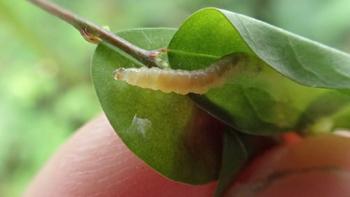 ナガエコミカンソウ幼虫1
