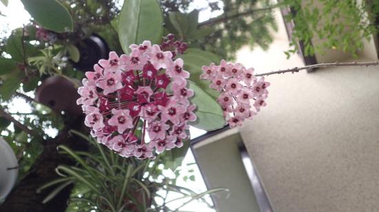 ホヤの花1