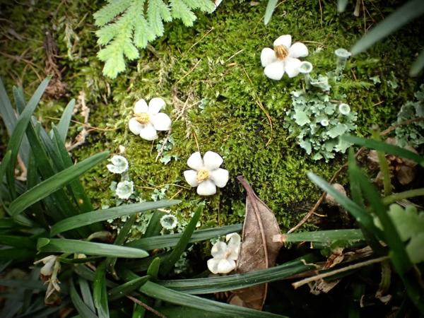 マンリョウ花弁