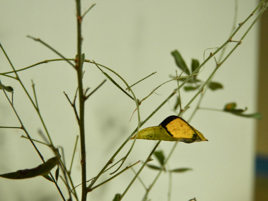 キタキチョウ蛹