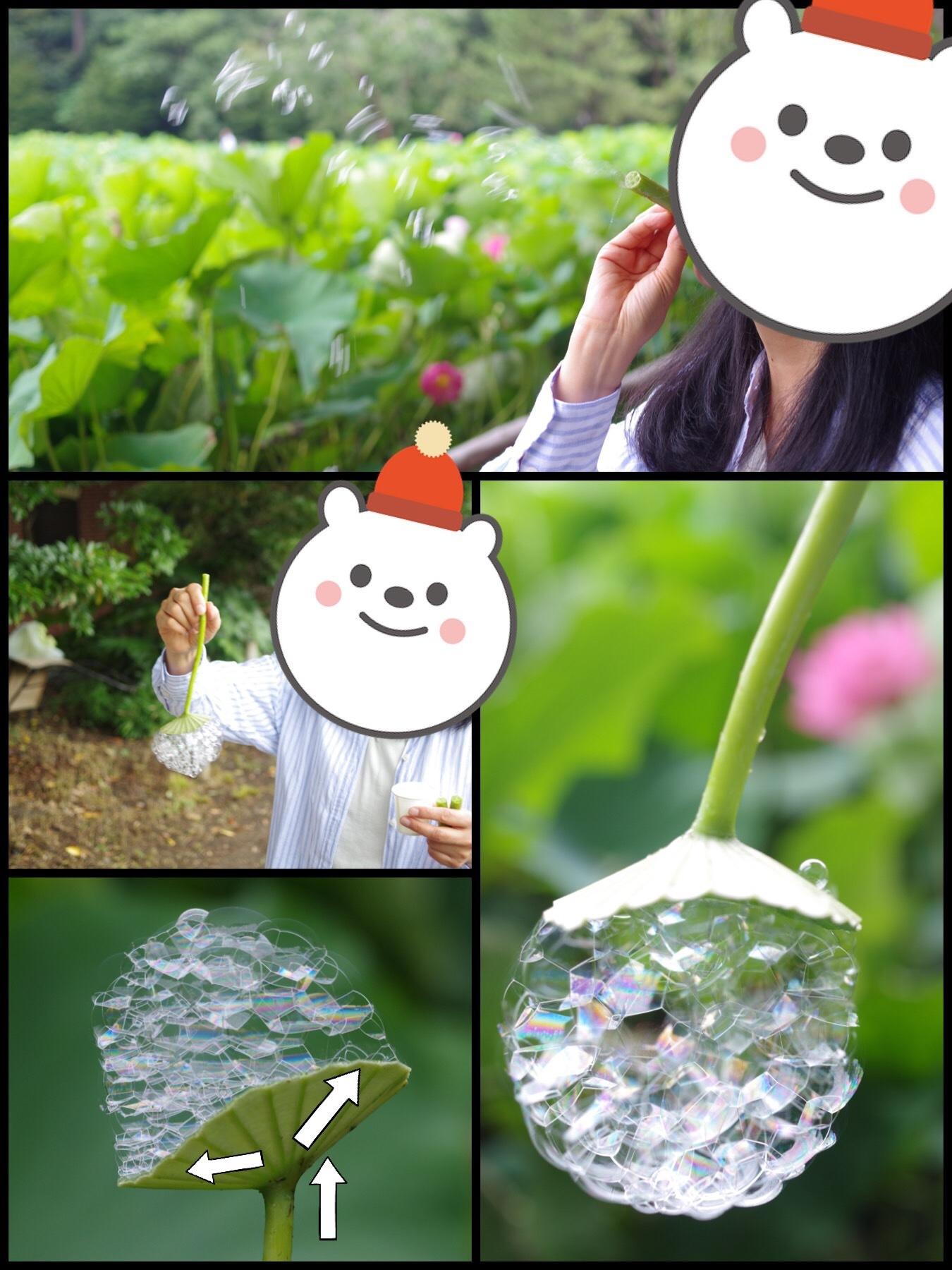 三渓園 早朝観蓮会 2019 蓮の写真