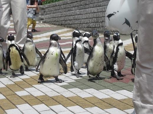 令和元年7月12日アドベンチャーワールドペンギン①
