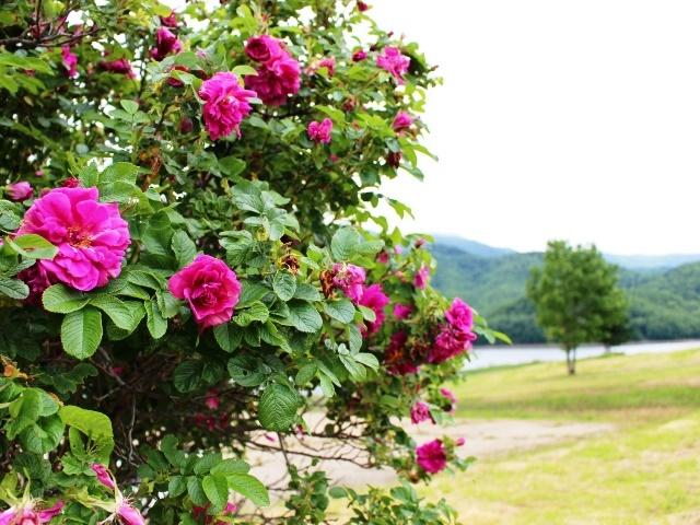 湖畔の花2
